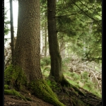 urwald_baum_1_desktop