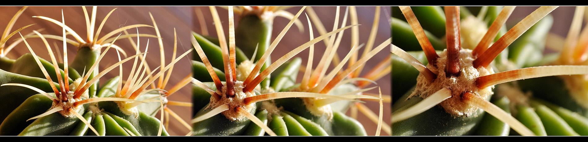 Kaktus Panorama